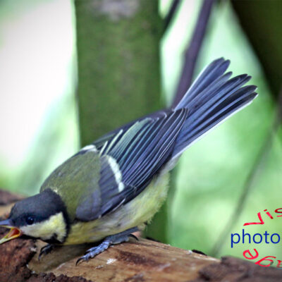 Blue Tit at the Potting Shed Fine Art Prints